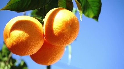 fresh orange fruits in the sun with blue sky