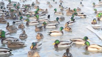 Ducks swim in the pond