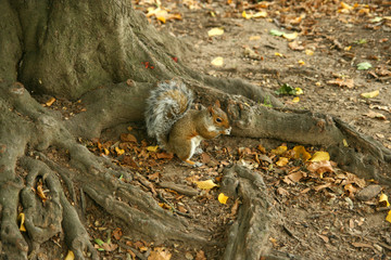 Squirrel Central Park