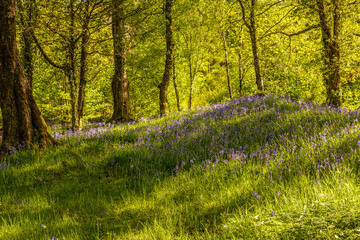 Woodland Of Bluebells