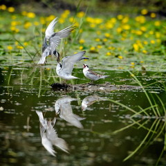 common terns in natural habitat (sterna hirundo)