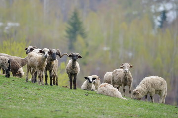 flock of sheep on field in autumn