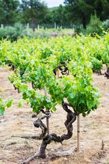 Vineyard in Galicia (Spain)