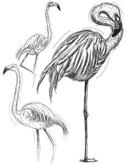 Sketchy flamingos