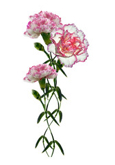 carnation flowers isolated on white background