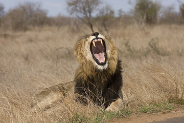wild male lion yawning in the bush