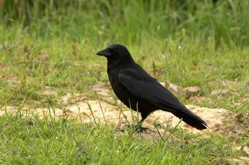 Carrion Crow - Corvus corone