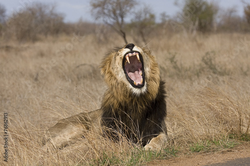 Fotobehang Leeuw wild male lion yawning in the bush