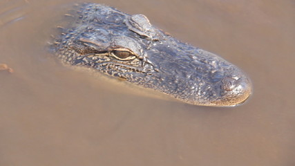 Alligator in the Bayou 4