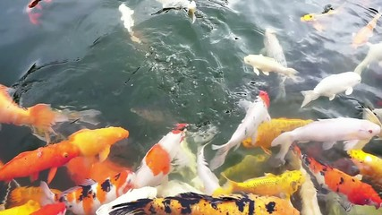 Colorful koi fish in the pond