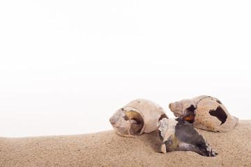 Wellhornschneckenhaus auf Sand vor weissem Hintergrund