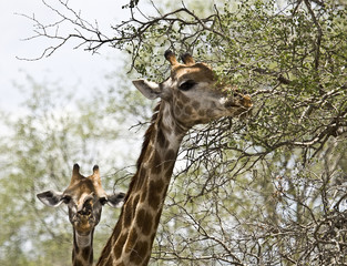 two wild giraffes in the bush, Kruger, South Africa