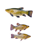 three big fish tench isolated on white background