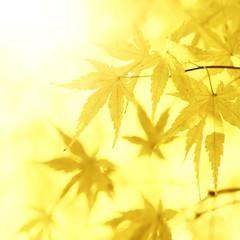 Golden sunny blurred leaves background