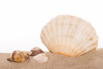 Jacobsmuschel im Sand vor weissem Hintergrund