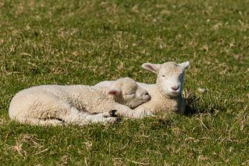 two basking lambs