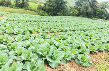 cabbage field,Phu tabberk ,Petchabun,Thailand