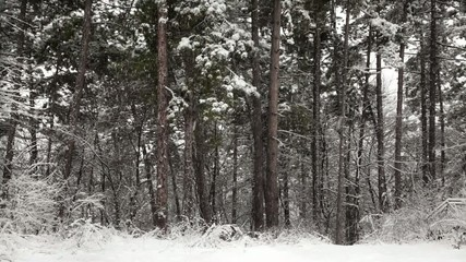 Pine trees with snow falling