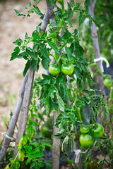 Tomatoes growing in a small garden