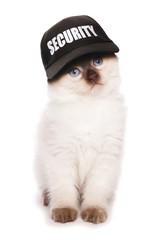 Ragdoll kitten wearing security baseball hat