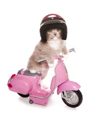 Ragdoll kitten riding a pink scooter