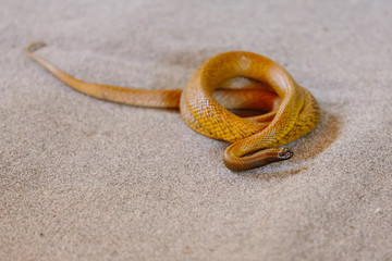 Inland taipan at snake show