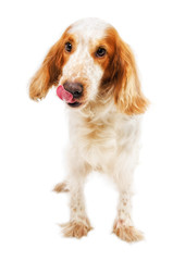 Russian Spaniel licking nose