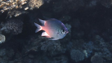 White Belly Damsel Fish, Red Sea, Egypt