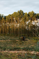 Felling of eucalyptus