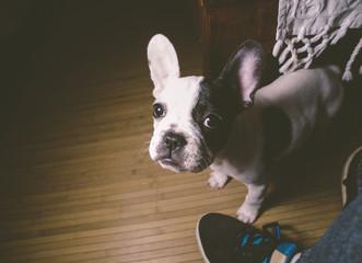 Puppy french bulldog