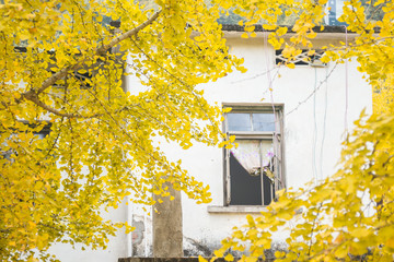 yellow ginkgo and the house