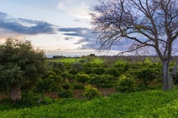 Sicilian citrus grove in winter