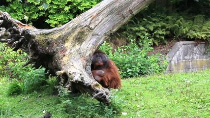 Male Bornean orangutan backs tree