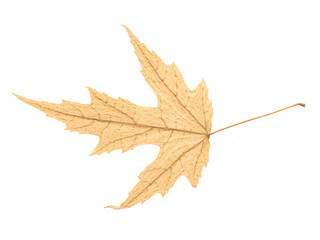 Dry Autumn Leaf Isolated On White