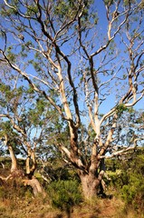 Im Eukalyptusbaum sitzen Koalabären - Australien