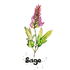 Vector watercolor natural sage plant. Salvia. EPS10