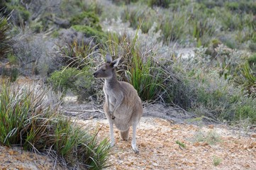 Kanguruh - Western Australia