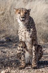 sitting cheetah