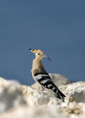 Hoopoe, migratory bird of Bhrain