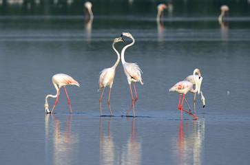 great flamingos  in courtship