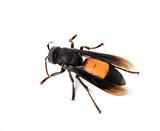 Wasp isolated on white - 76919596