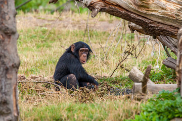 Chimp in the nature