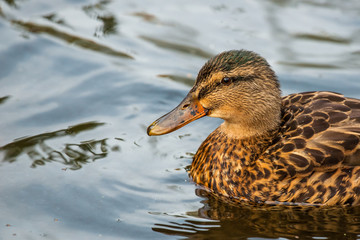 Duck on clear water