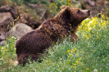 orso bruno mammifero