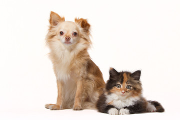 Chihuahua with Maine Coon kitten