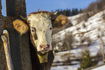 Young cow with bell at countryside in winter