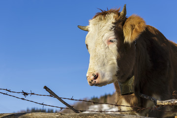 Brown cow portrait with bell over clear blue sky