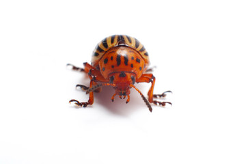 Colorado beetle isolated