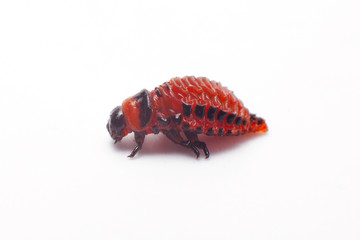 Colorado beetle isolated. Larva