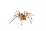 Fototapeta spider isolated